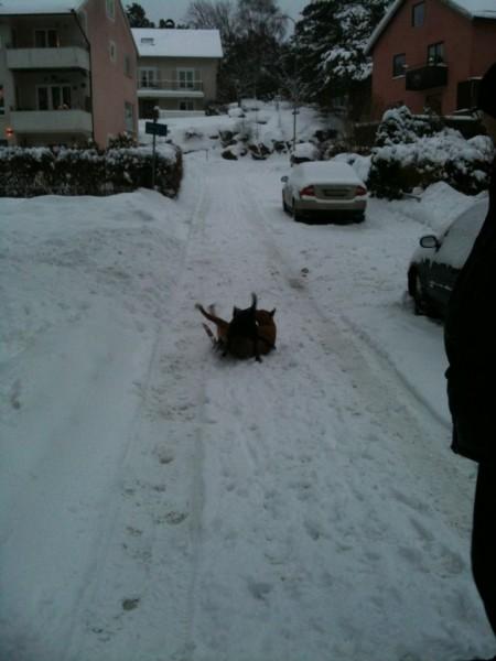 Hundhög i snöhögarna