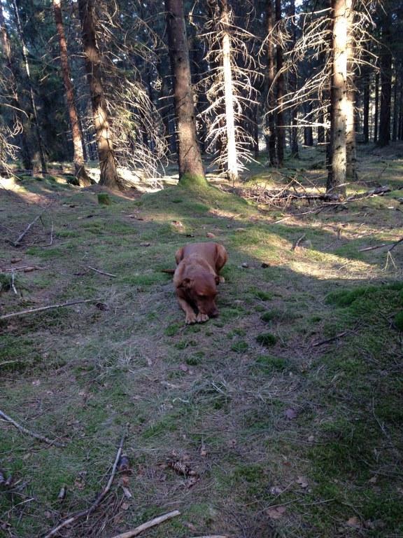Fox tränar på att ha tråkigt i skogen.