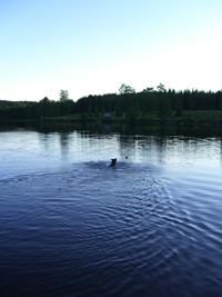 Brumma simmade ut för att kolla fisken. Många gånger!