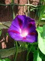 Första knoppen slår ut på blomma-för-dagen